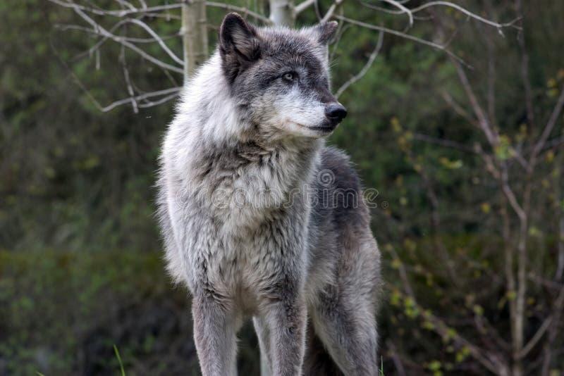Dominante grijze wolf stock afbeeldingen