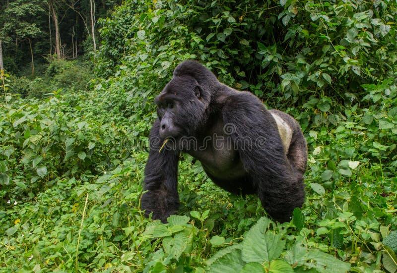 Dominante mannelijke berggorilla in het gras oeganda Bwindi Ondoordringbaar Forest National Park stock afbeelding