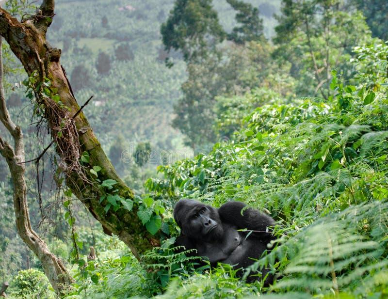 Dominante mannelijke berggorilla in het gras oeganda Bwindi Ondoordringbaar Forest National Park royalty-vrije stock afbeeldingen