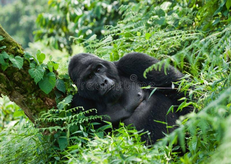 Dominante mannelijke berggorilla in het gras oeganda Bwindi Ondoordringbaar Forest National Park stock foto's