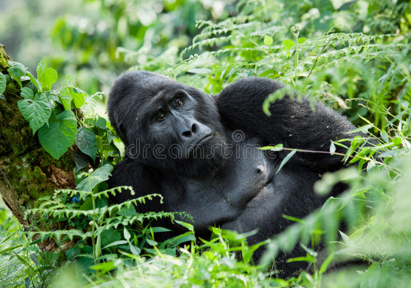 Dominante mannelijke berggorilla in het gras oeganda Bwindi Ondoordringbaar Forest National Park royalty-vrije stock fotografie