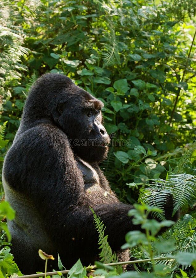 Dominante mannelijke berggorilla in het gras oeganda Bwindi Ondoordringbaar Forest National Park stock foto