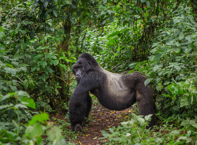 Dominante mannelijke berggorilla in regenwoud Oeganda Bwindi Ondoordringbaar Forest National Park stock foto