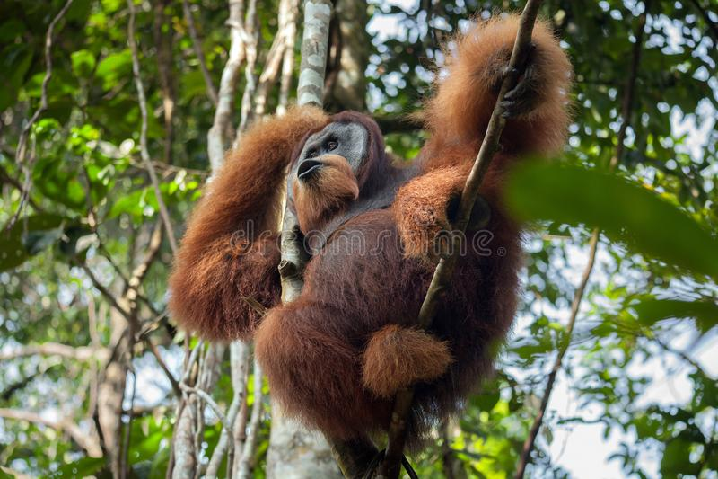 Dominante mannelijke orangoetanschreeuwen, die in een boom in de wildernis zitten royalty-vrije stock fotografie