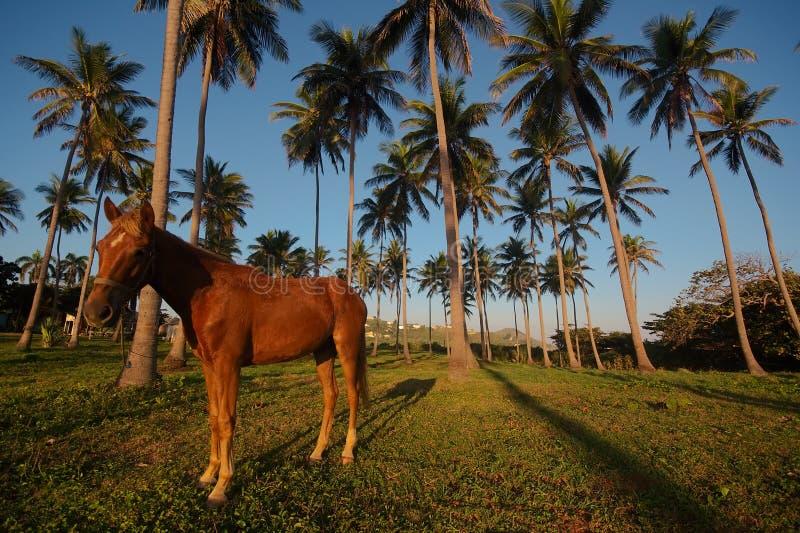 Dominicaans kust en paard stock afbeelding