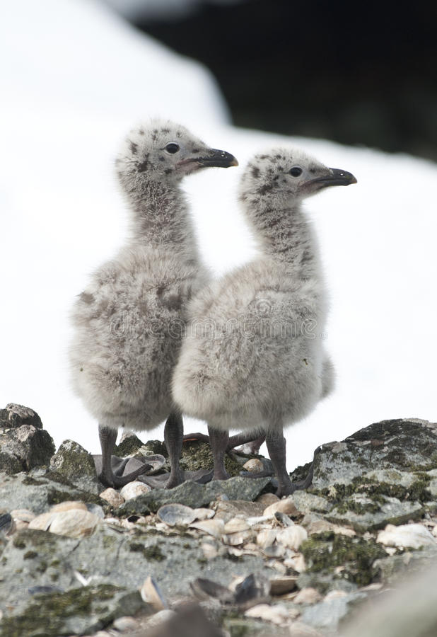 Download Dominican gull chicks. stock photo. Image of winter, north - 23550136