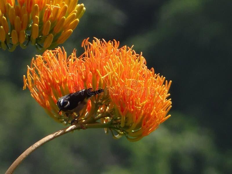 Dominicano Λουλούδι και λίγο κολίβριο πουλιών στοκ φωτογραφία με δικαίωμα ελεύθερης χρήσης