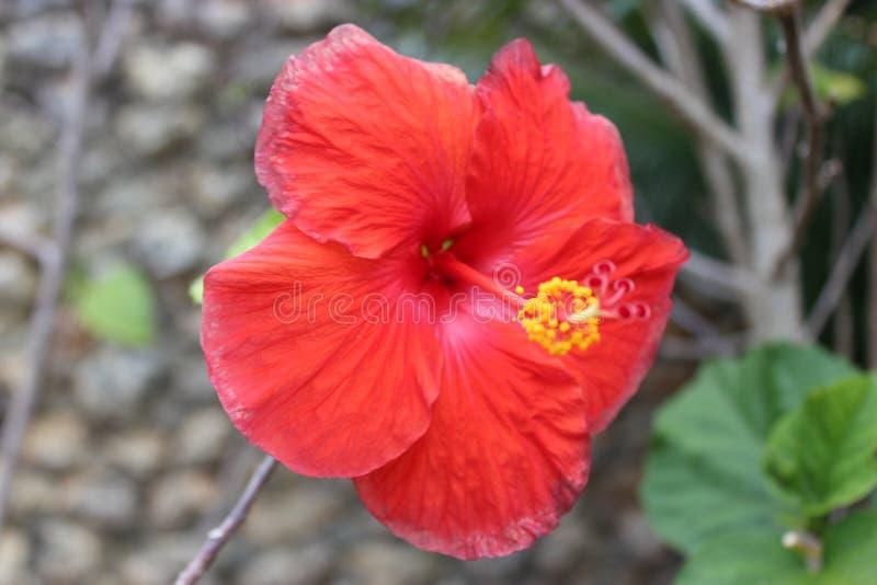 Dominikański tropikalny kwiat zdjęcie royalty free