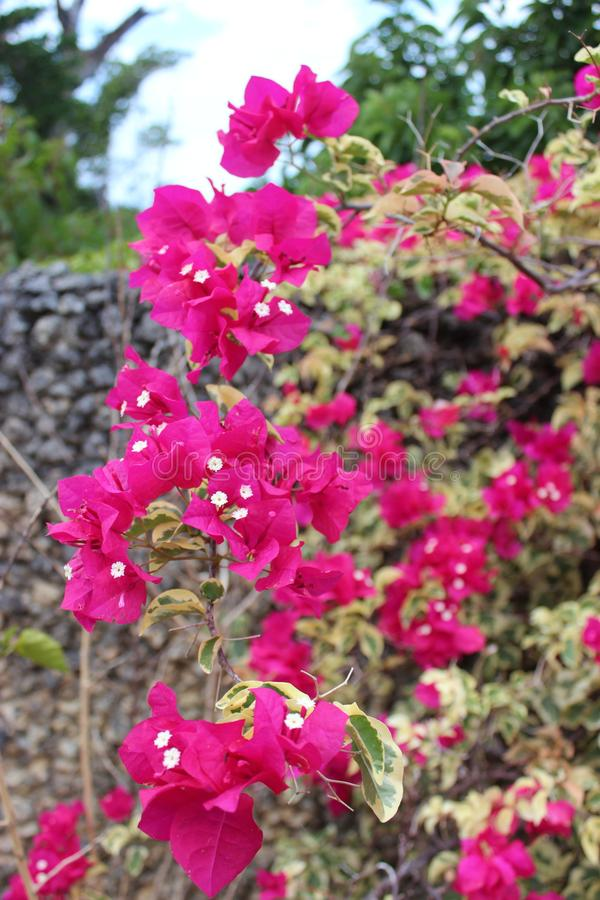Dominika?ski tropikalny kwiat zdjęcia royalty free