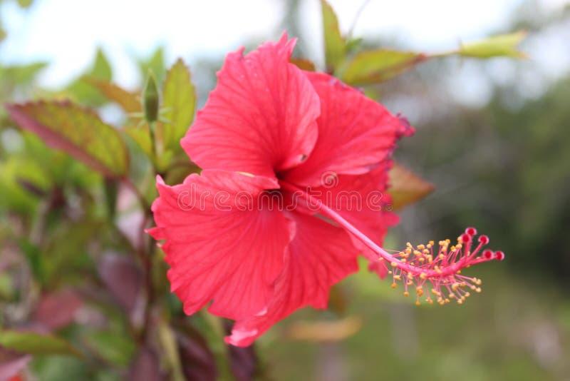 Dominika?ski tropikalny kwiat fotografia stock