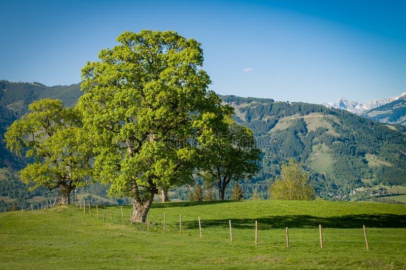 Dominujący drzewo na Alpejskiej łące zdjęcie stock