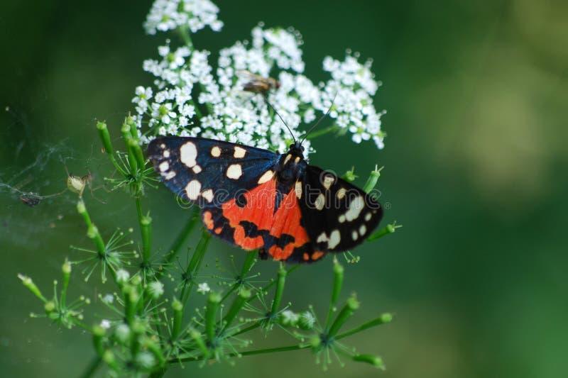 Dominula van vlindercallimorpha royalty-vrije stock foto