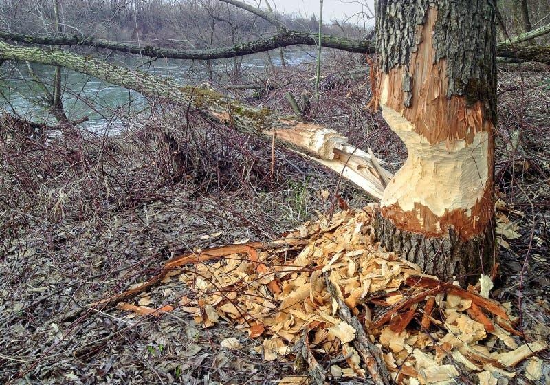 Dommages d'arbre de castor images stock