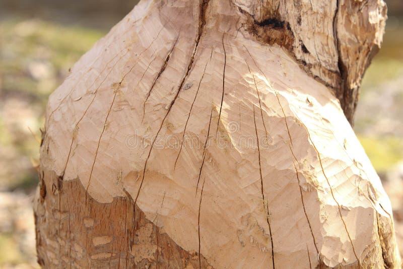 Dommages d'arbre de castor Ils réduiront régulièrement des arbres Les castors mangent en grande partie l'écorce et les feuilles d photographie stock