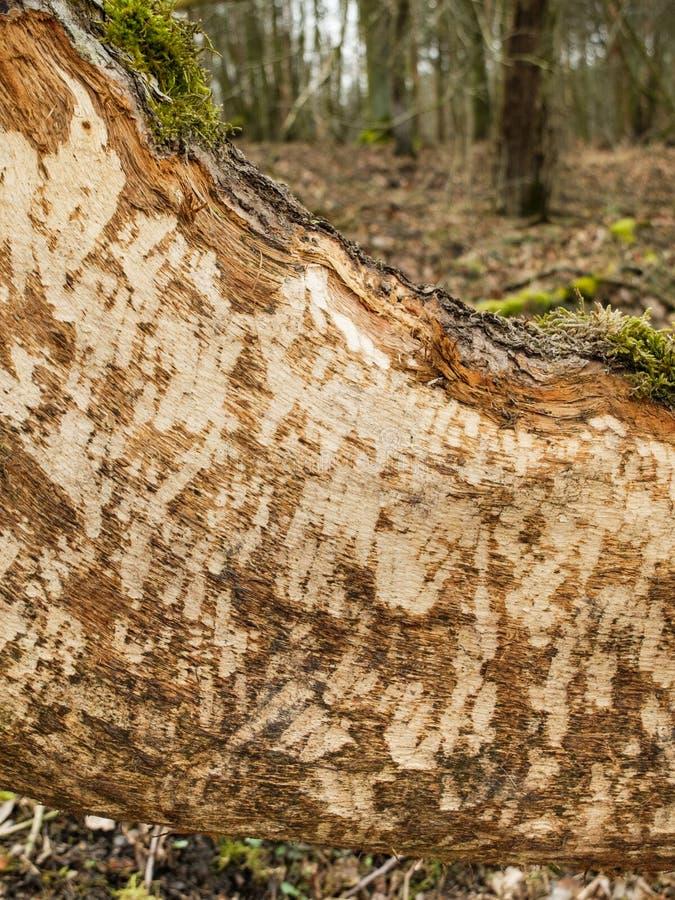 Dommages de fibre de roulette de castor sur l'arbre tombé photographie stock
