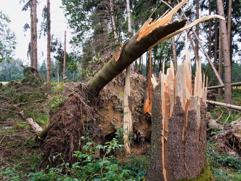 Dommages de tempête. arbres dans la forêt après une tempête. photos libres de droits