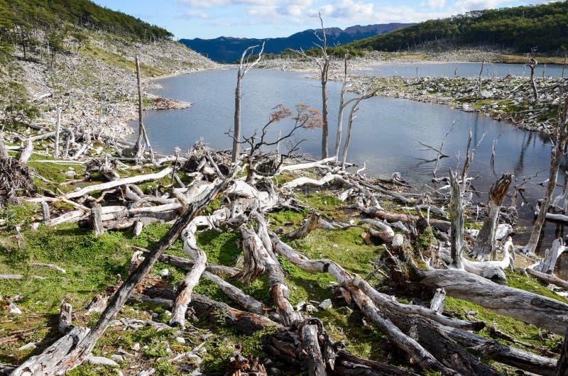 Dommages faits par les castors et le barrage de castor en Dientes de Navarino, Isla Navarino, Chili photos libres de droits
