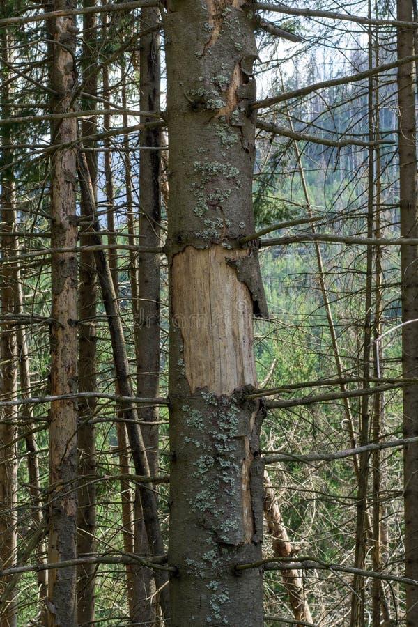 Dommages sur l'arbre après le dendroctone de l'épinette d'Europe Ips typographus Calamité du dendroctone de l'épinette à Tatra Éc photo stock