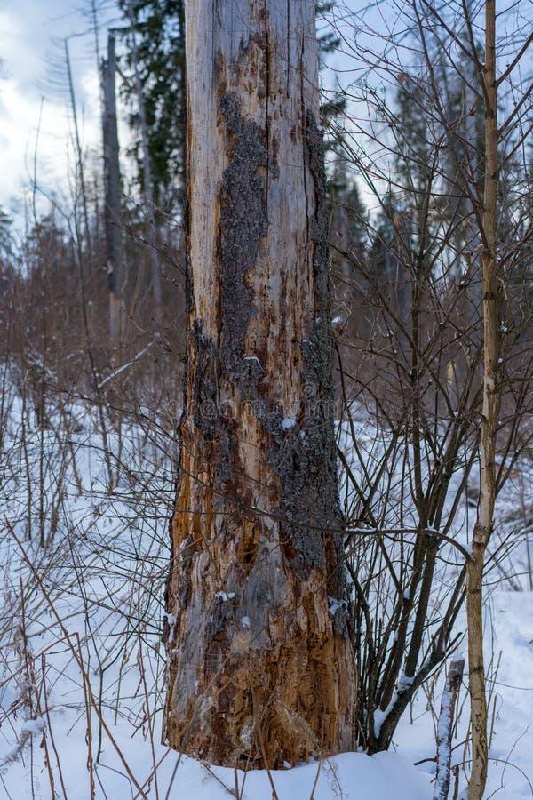 Dommages sur l'arbre après typographus impeccable européen d'IPS de scarabée d'écorce photographie stock libre de droits
