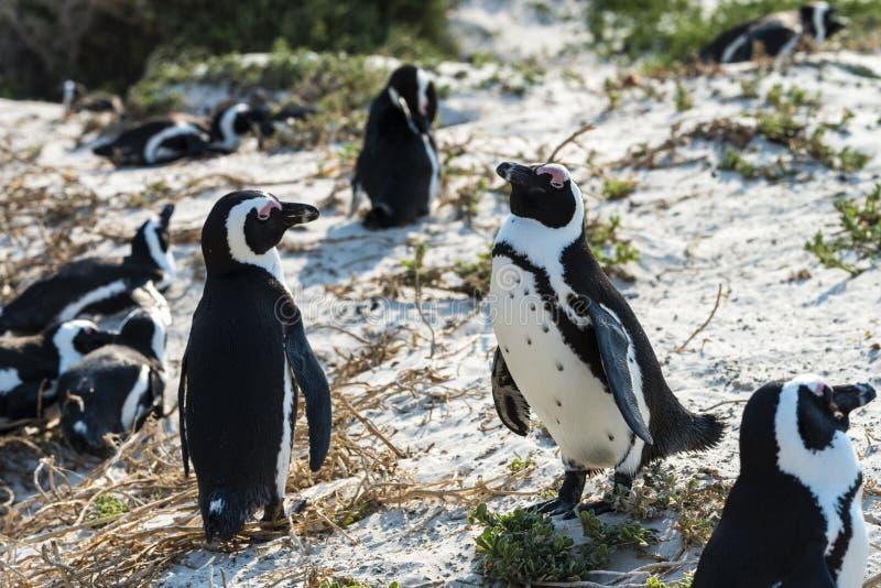 Download Domoorpinguïnen (Spheniscus Demersus) Stock Foto - Afbeelding bestaande uit oceaan, wild: 54090838