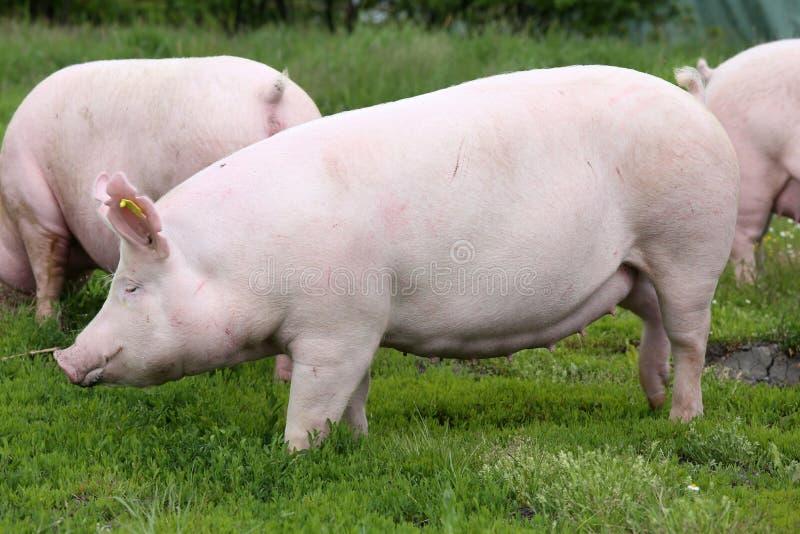 Domowa świniowata locha pozuje na świeżej zielonej trawy łące obraz royalty free