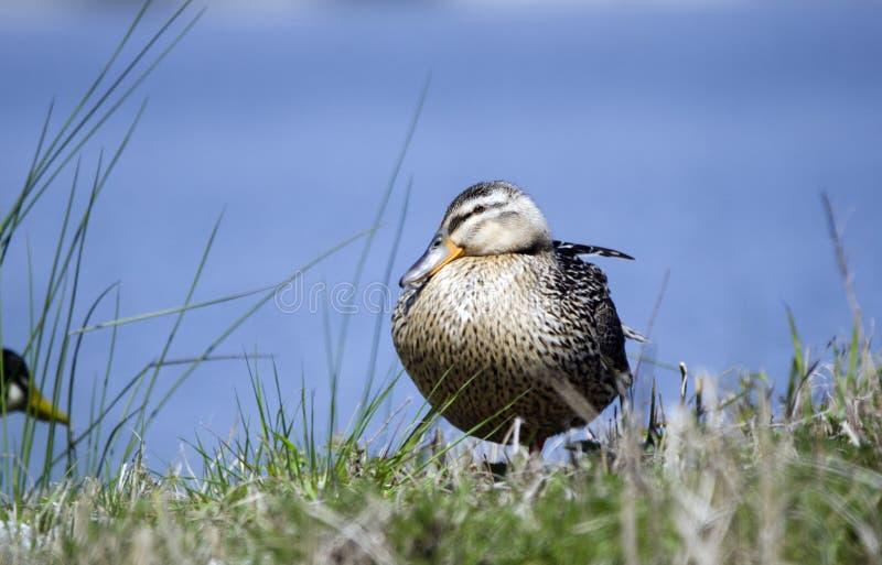 Domowa Cayuga mallard hybrydu wezwania kaczka na trawa brzeg przeciw błękitne wody tłu zdjęcia royalty free