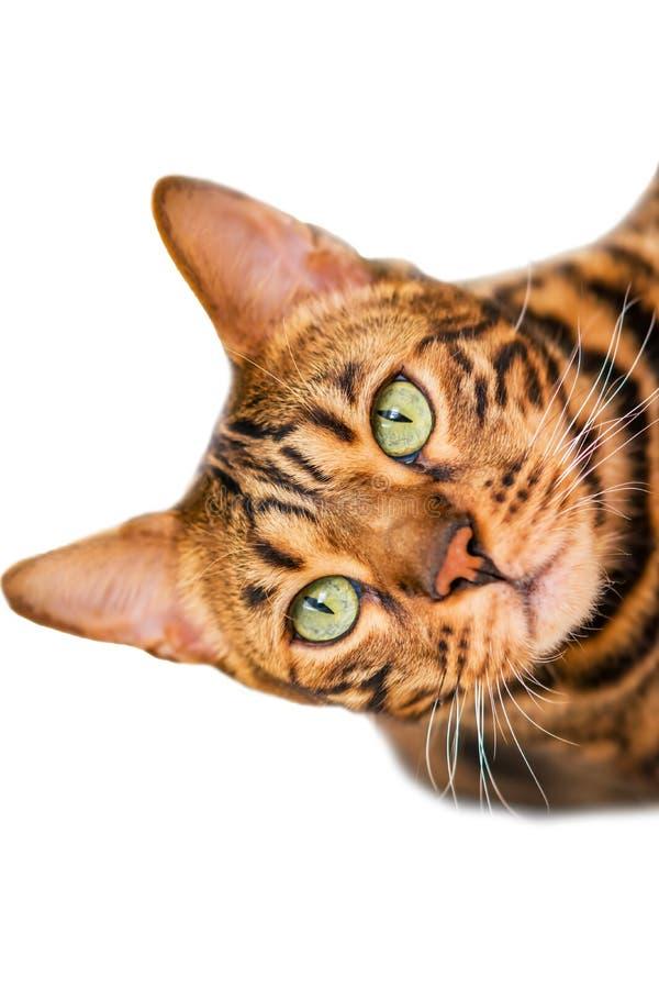 Domowa czerwień z czarnych punktów Bengalia kota trakenem, selekcyjna ostrość, zdjęcia stock