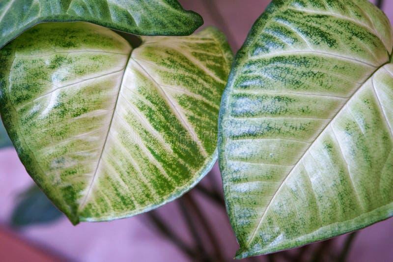 domowa ficus roślinność obrazy stock