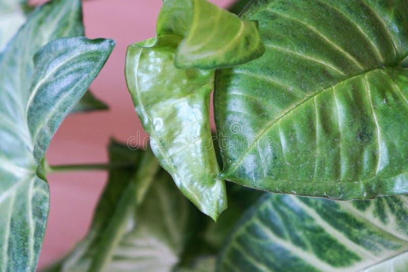 domowa ficus roślinność zdjęcia royalty free