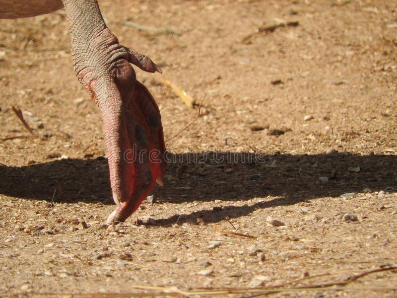 Domowa gąska łapa gąska upierza, gęsi pasanie w łące który zaludniają utrzymanie jako drób dla, obrazy stock