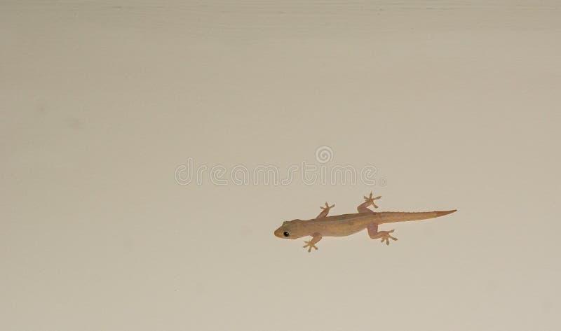 Domowa jaszczurka lub mały gekon na białej ścianie zdjęcia royalty free