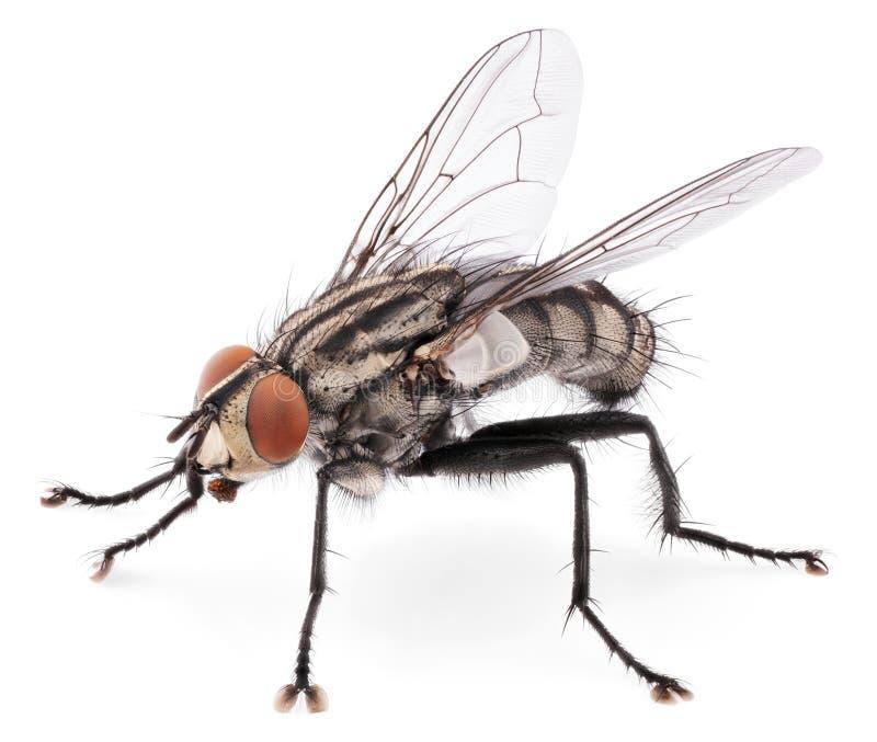 Domowa komarnica odizolowywająca na białym tle obraz stock