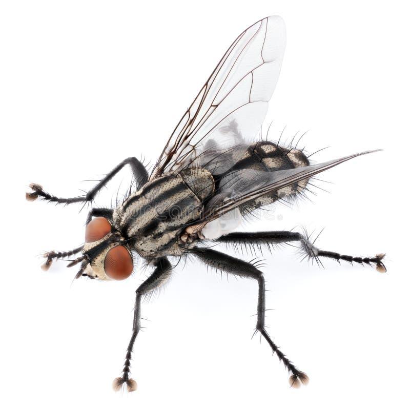 Domowa komarnica odizolowywaj?ca na bia?ym tle obraz stock