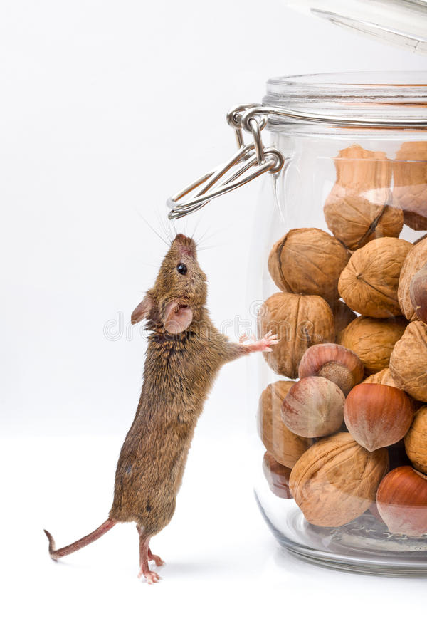 Domowa mysz blisko orzecha włoskiego i kukurydzanego słoju obrazy royalty free