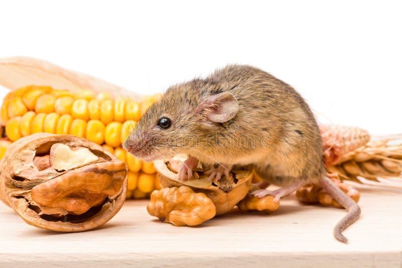 Domowa mysz z orzechem włoskim i kukurudzą (Mus musculus) zdjęcie stock