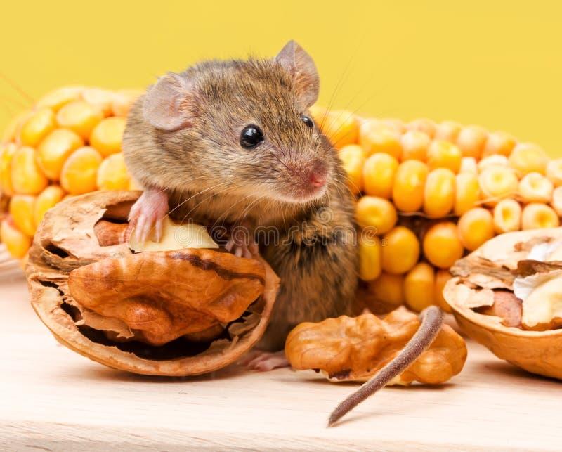 Domowa mysz z orzechem włoskim i kukurudzą (Mus musculus) fotografia stock