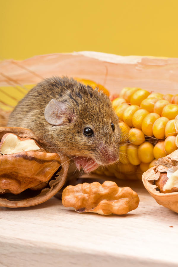 Domowa mysz z orzechem włoskim i kukurudzą (Mus musculus) obraz stock