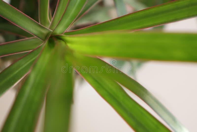 Domowa palma zostaw, blisko green zdjęcie stock