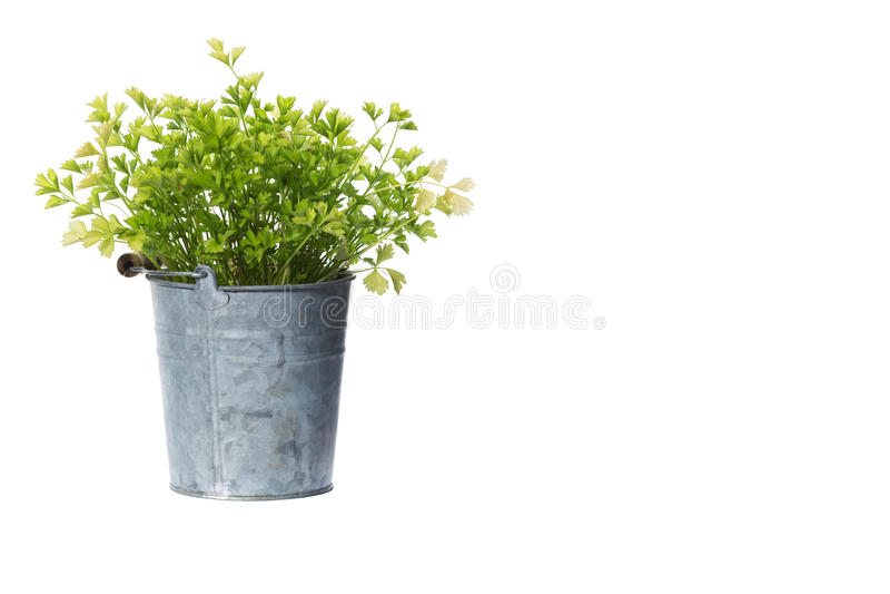 Domowa roślina puszkująca roślina odizolowywająca na bielu obrazy royalty free