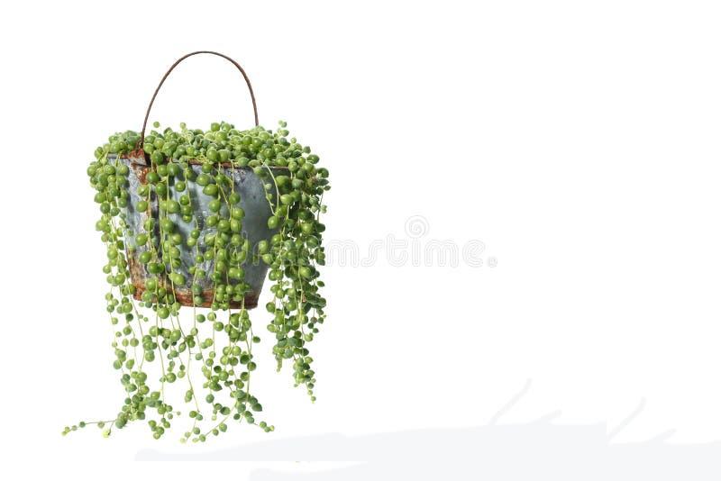 Domowa roślina puszkująca roślina odizolowywająca na bielu fotografia royalty free