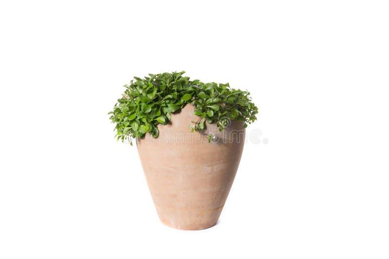 Domowa roślina puszkująca roślina odizolowywająca na bielu zdjęcia royalty free