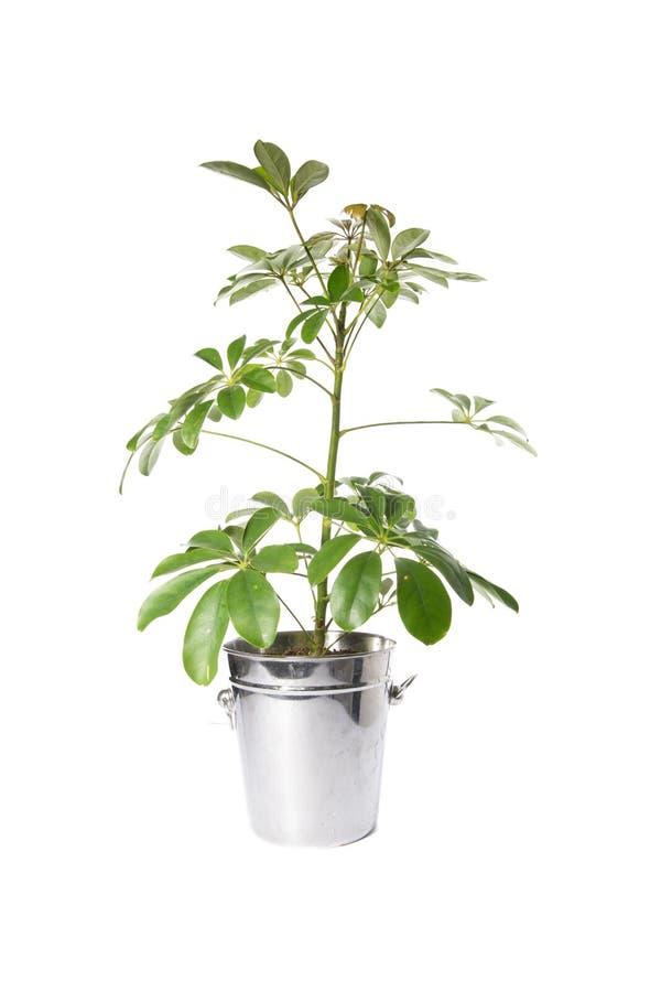 Domowa roślina w wiadrze, roślina odizolowywająca na bielu obrazy royalty free