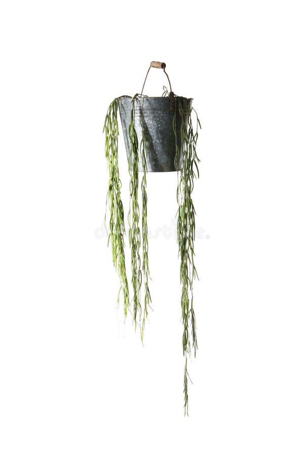 Domowa roślina w wiadrze, roślina odizolowywająca na bielu zdjęcie stock