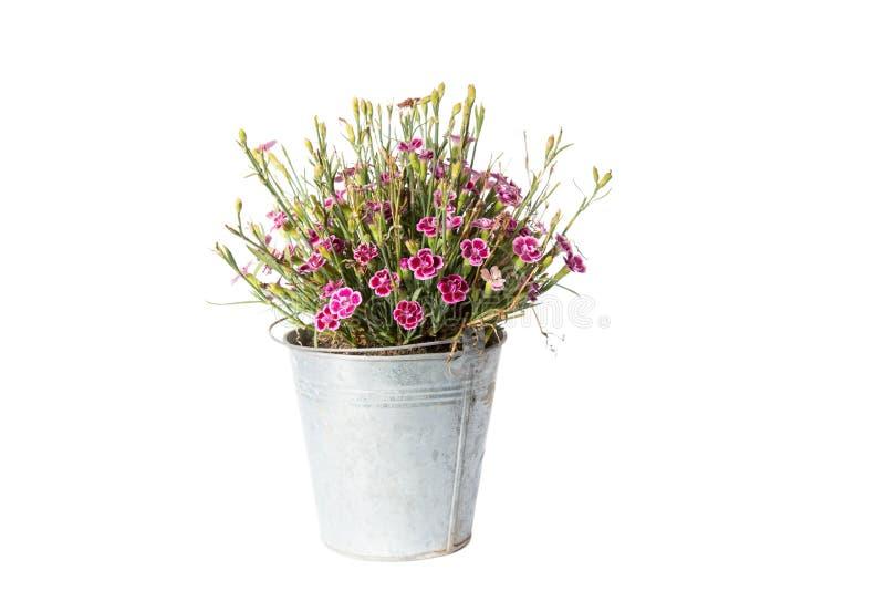 Domowa roślina w wiadrze, roślina odizolowywająca na bielu obrazy stock
