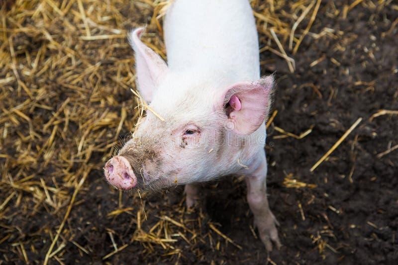 Domowe świnie na gospodarstwie rolnym fotografia royalty free