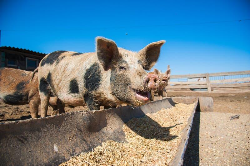 Domowe świnie na gospodarstwie rolnym obraz stock