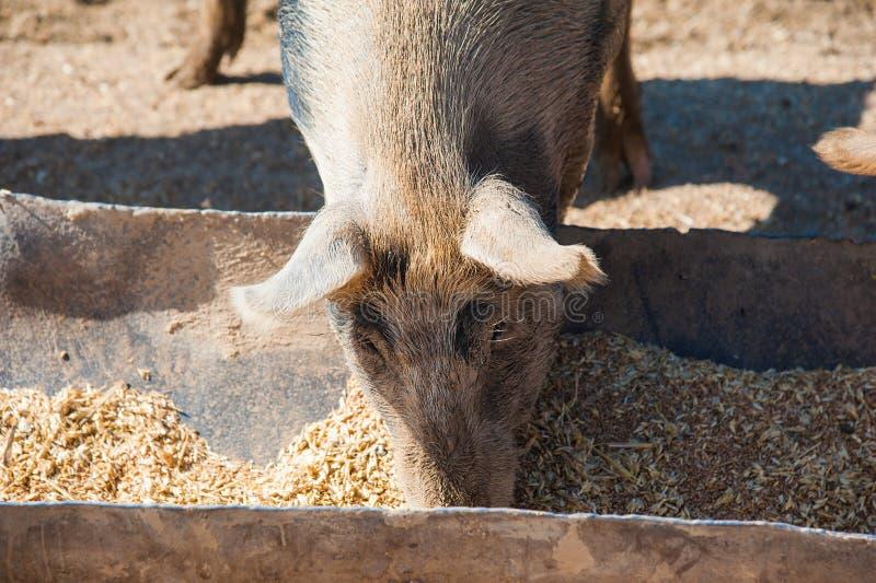 Domowe świnie na gospodarstwie rolnym zdjęcie stock