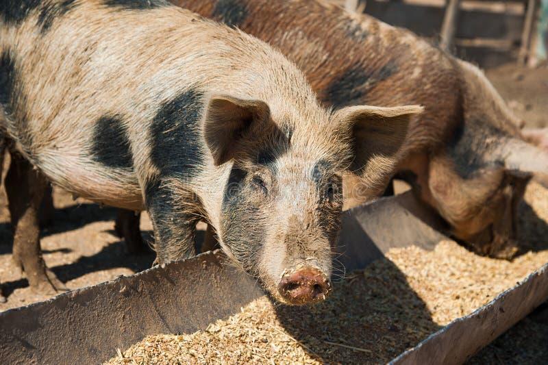 Domowe świnie na gospodarstwie rolnym fotografia stock