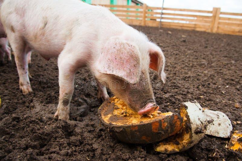 Domowe świnie na gospodarstwie rolnym obraz royalty free