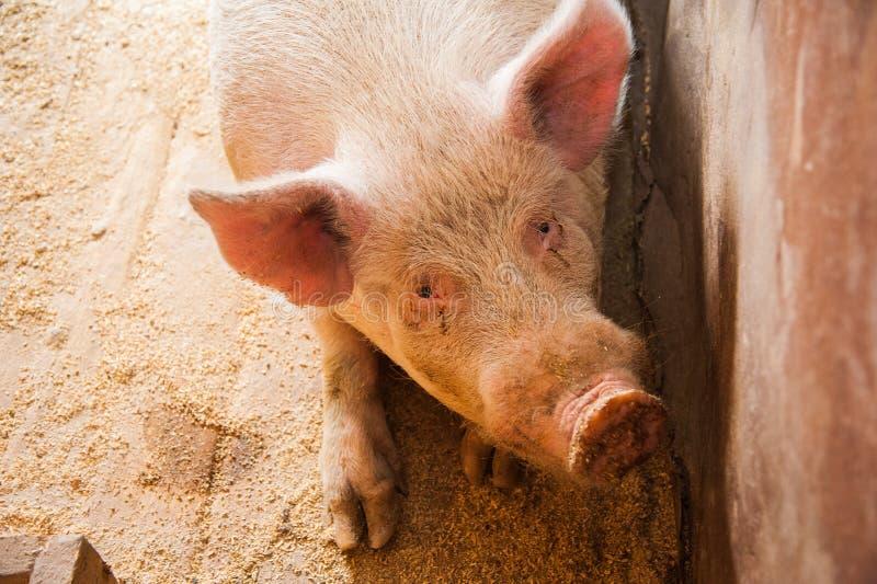 Domowe świnie na gospodarstwie rolnym zdjęcia stock
